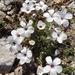 Linum suffruticosum - Photo (c) Tig, όλα τα δικαιώματα διατηρούνται