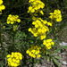 Erysimum duriaei - Photo (c) Tig, all rights reserved