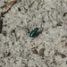Cicindela scutellaris unicolor - Photo (c) Jason Sharp, todos los derechos reservados, uploaded by SharpJ99