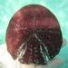 Sculpsitechinus auritus - Photo (c) Cristina, all rights reserved