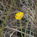 Southeastern Sneezeweed - Photo (c) Jay Keller, all rights reserved, uploaded by Jay L. Keller