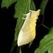 Euhampsonia splendida - Photo (c) Taewoo Kim, all rights reserved