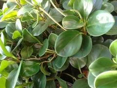 Peperomia obtusifolia image