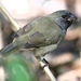 Black-faced Grassquit - Photo (c) Jay L. Keller, all rights reserved