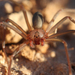 Texas Recluse - Photo (c) Jason Penney, all rights reserved