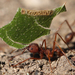 Texas Leaf-cutter Ant - Photo (c) Jason Penney, all rights reserved