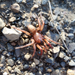 Antrodiaetus pugnax - Photo (c) Benjamin Grove-White, all rights reserved