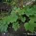 Heuchera villosa villosa - Photo (c) jptuttle, all rights reserved