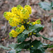 Oregon Grape - Photo (c) Tig, all rights reserved