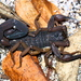Bark Scorpions - Photo (c) Jay L. Keller, all rights reserved