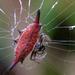 Gasteracantha diardi - Photo (c) Susan Myers, todos los derechos reservados