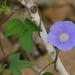 Trompillo - Photo (c) Chris McCreedy, todos los derechos reservados
