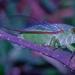 Dundubia vaginata - Photo (c) Susan Myers, todos los derechos reservados