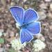 Lycaena heteronea - Photo (c) lamhanson, todos los derechos reservados