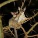 Galago senegalensis sotikae - Photo (c) dejong, todos los derechos reservados, uploaded by Yvonne A. de Jong