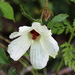 Pineland Hibiscus - Photo (c) Jay L. Keller, all rights reserved