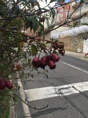 Syzygium paniculatum image