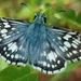 New World Checkered-Skippers - Photo (c) Lincoln Durey, all rights reserved