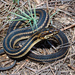 Saltmarsh Snake - Photo (c) Brad Moon, all rights reserved