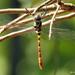 Common Torrent Hawk - Photo (c) Rajib Maulick, all rights reserved