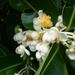Calophyllum inophyllum - Photo (c) Yusi Huang, kaikki oikeudet pidätetään
