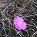 Ridgestem False Foxglove - Photo (c) jptuttle, all rights reserved