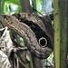 Caligo placidianus - Photo (c) Kirsten Hall, όλα τα δικαιώματα διατηρούνται