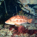 Labrus bergylta - Photo (c) tamsynmann, todos los derechos reservados