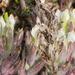 salt marsh bird's-beak - Photo (c) BJ Stacey, all rights reserved