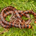 False Coral Snake - Photo (c) Rafael Bernhard, all rights reserved