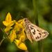 Hylephila fasciolata - Photo (c) Patrich Cerpa, todos os direitos reservados