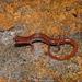 Eurycea paludicola - Photo (c) Brad Moon, todos los derechos reservados