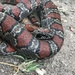 Mexican Kingsnake - Photo (c) Isaac RaGa, all rights reserved