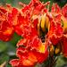 Tulipán Africano - Photo (c) zorkkanna, todos los derechos reservados