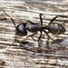 Hairy Carpenter Ant - Photo (c) nonomay, all rights reserved