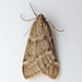 Fall Cankerworm Moth - Photo (c) Bill Keim, some rights reserved (CC BY)