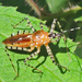 Ringed Assassin Bug - Photo (c) Bill Keim, all rights reserved