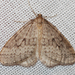 Bruce Spanworm Moth - Photo (c) Larry Clarfeld, all rights reserved