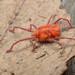 Erythraeidae - Photo (c) Andrew Trevor-Jones, kaikki oikeudet pidätetään