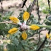 Loasa placei - Photo (c) nicrodemo, όλα τα δικαιώματα διατηρούνται