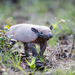 Short-nosed Armadillos - Photo (c) toutterain, all rights reserved