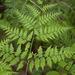 Pteridium aquilinum latiusculum - Photo (c) Tig, todos los derechos reservados