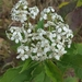 Frostweed - Photo (c) Kimberlie Sasan, some rights reserved (CC BY-ND)
