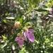 Teucrium bicolor - Photo (c) rcabrerag, כל הזכויות שמורות
