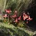 Gentianella cernua - Photo (c) andriusp, כל הזכויות שמורות