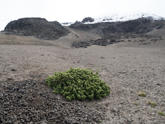 Image of Urtica flabellata