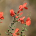 Scarlet Calamint - Photo (c) Alice Mary Herden, all rights reserved