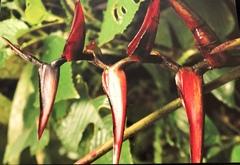 Heliconia tortuosa image