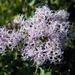 Garberia heterophylla - Photo (c) Jason Sharp, kaikki oikeudet pidätetään, uploaded by SharpJ99