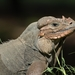 Mona Rhinoceros Iguana - Photo (c) Julio A. Salgado Velez, all rights reserved